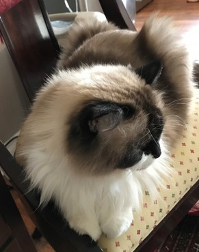 Adult/ Retired Available - Rose Cottage Ragdolls