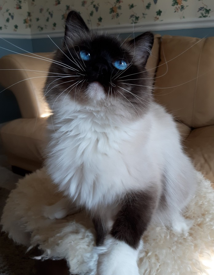 Retired/ Adult Available - Rose Cottage Ragdolls