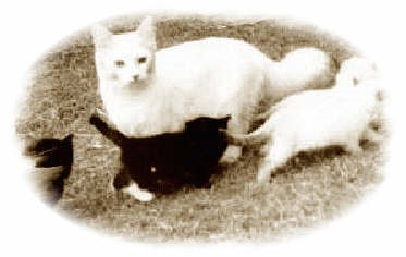 Ragdoll Cats History/ Policy - Rose Cottage Ragdolls